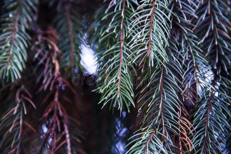 Een tak van pijnboom in de regen royalty-vrije stock foto