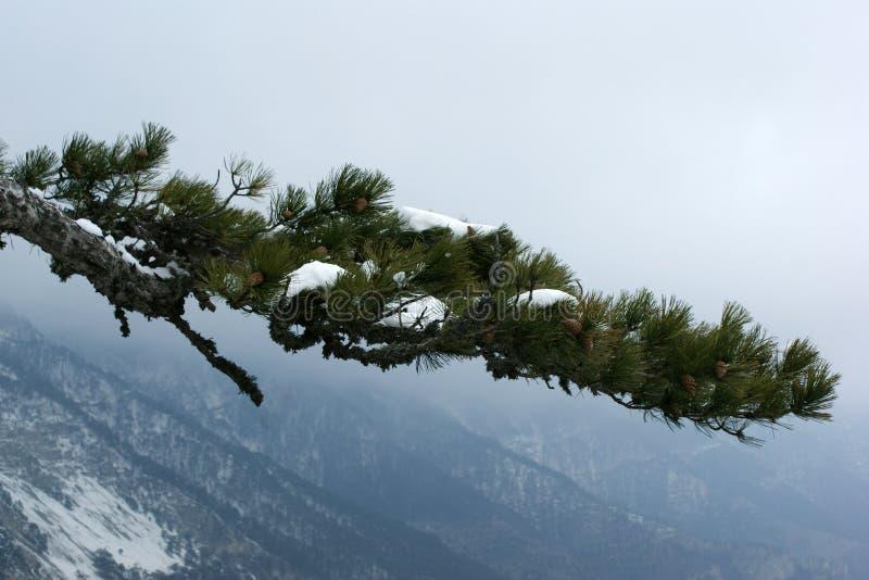 Een tak van pijnboom tegen de achtergrond van bergen stock afbeelding