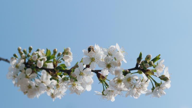 Een tak van tot bloei komende kers tegen een blauwe hemel stock fotografie