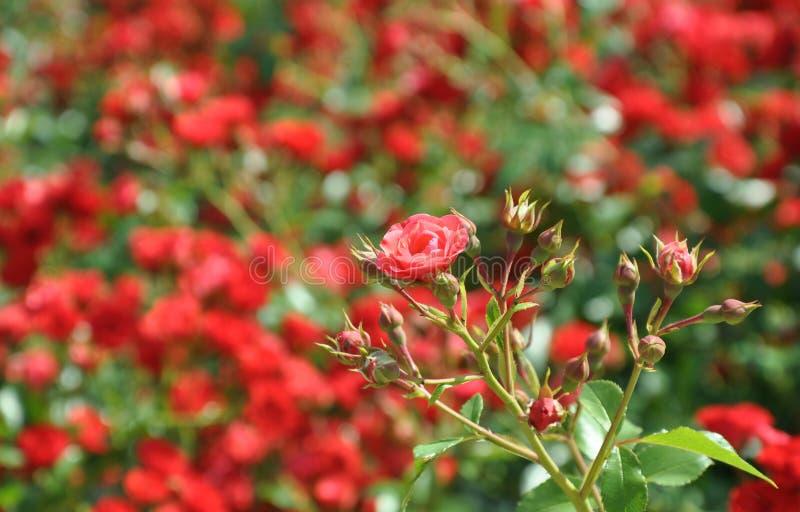 Een tak van weinig rode polyantharozen met rosebuds op de bloemenachtergrond royalty-vrije stock afbeelding