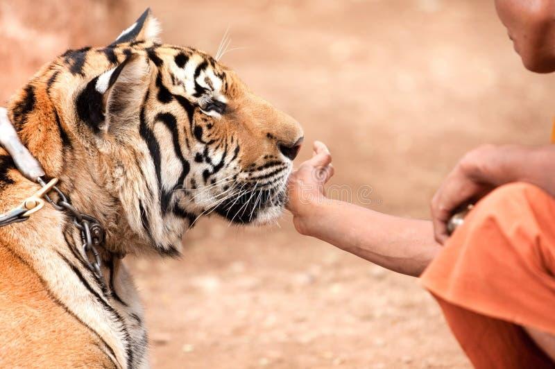 Een tamme tijger stock afbeelding