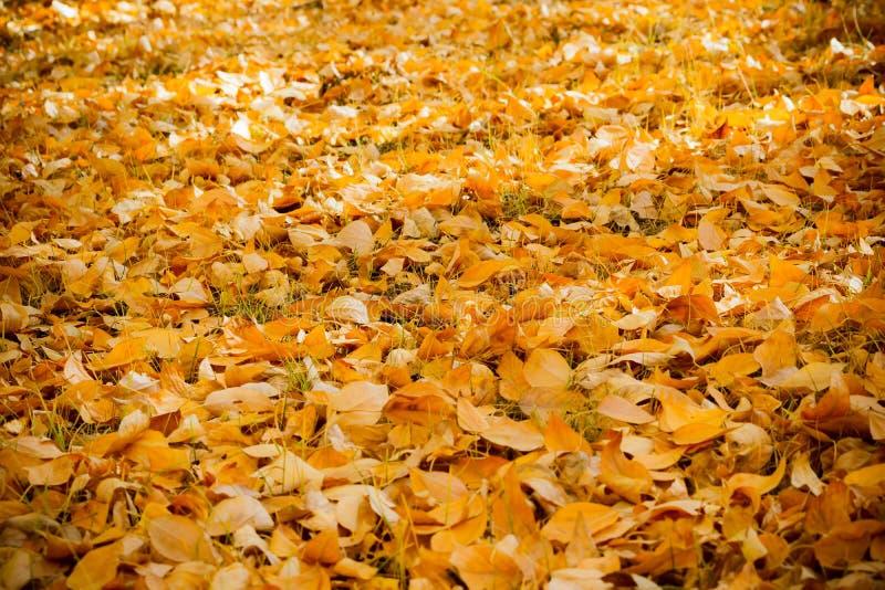 Een tapijt van gele de herfstbladeren stock foto