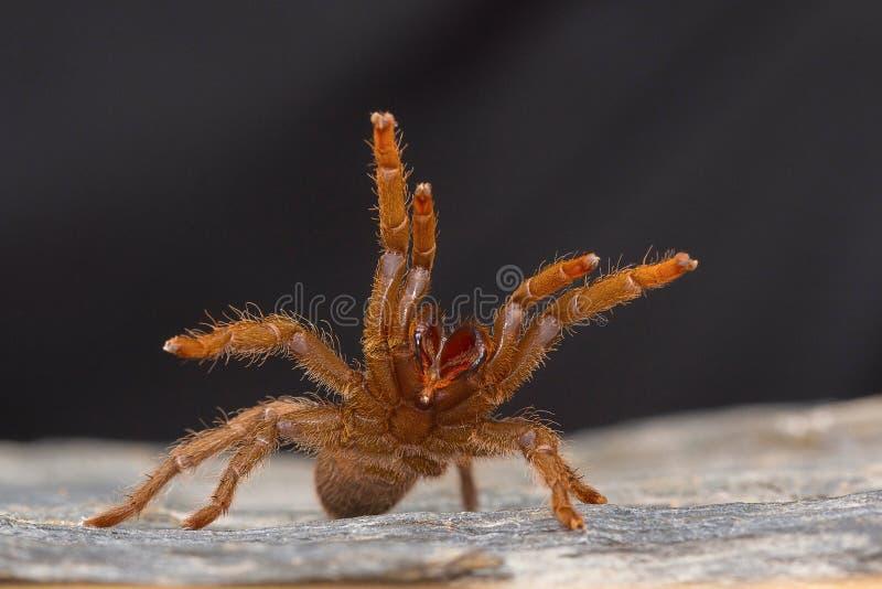 Een tarantula van de soort Heterophroctus in agressie wordt opgeheven die zijn hoektanden tonen die stock fotografie