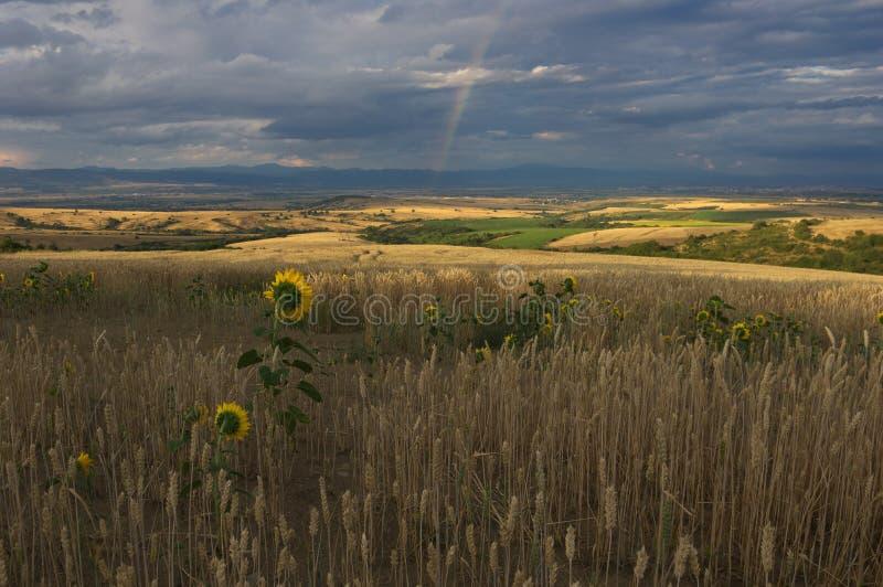 Een tarwegebied en zonnebloemen, Bulgarije stock fotografie