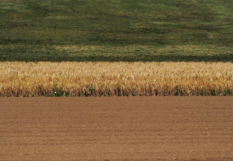 Een tarwegebied tussen geploegde en een groen gras op een hete de zomerdag stock foto's