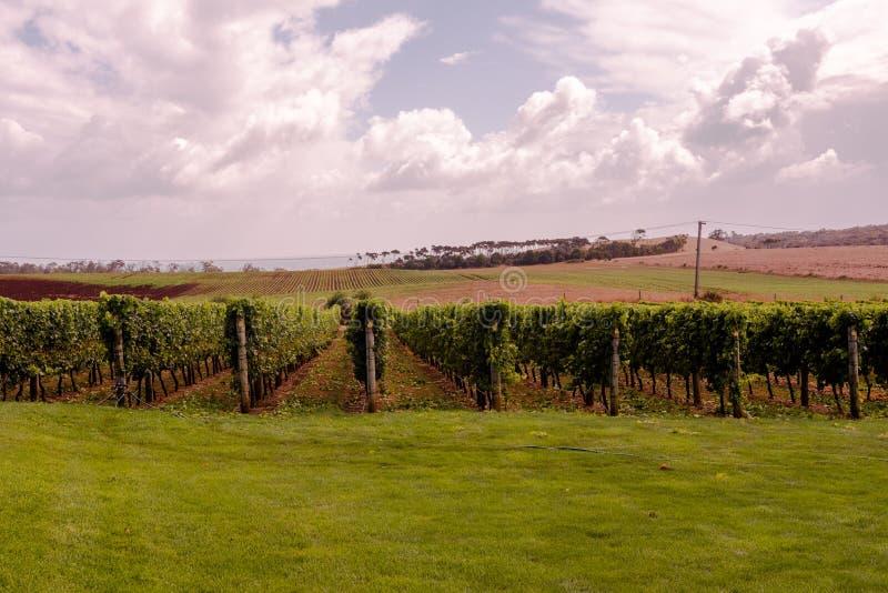 Een Tasmaanse Wijngaard in de Zomer royalty-vrije stock afbeeldingen
