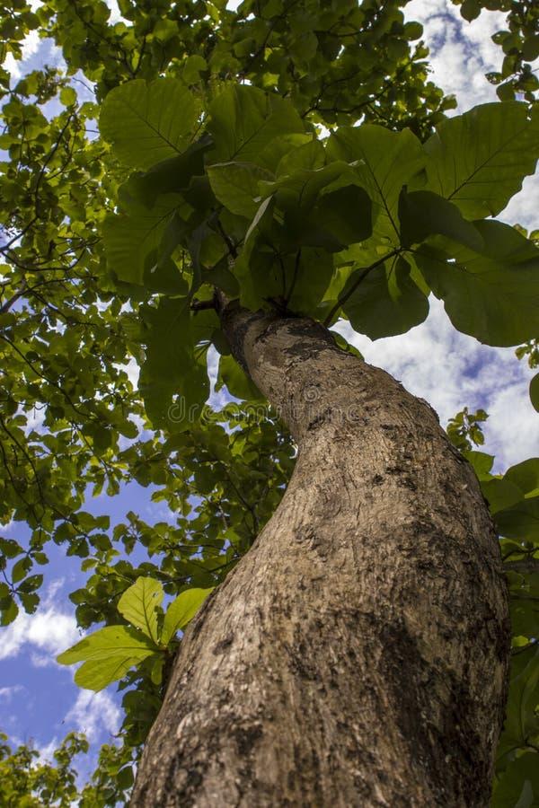 Een teakboom in Indonesië royalty-vrije stock foto