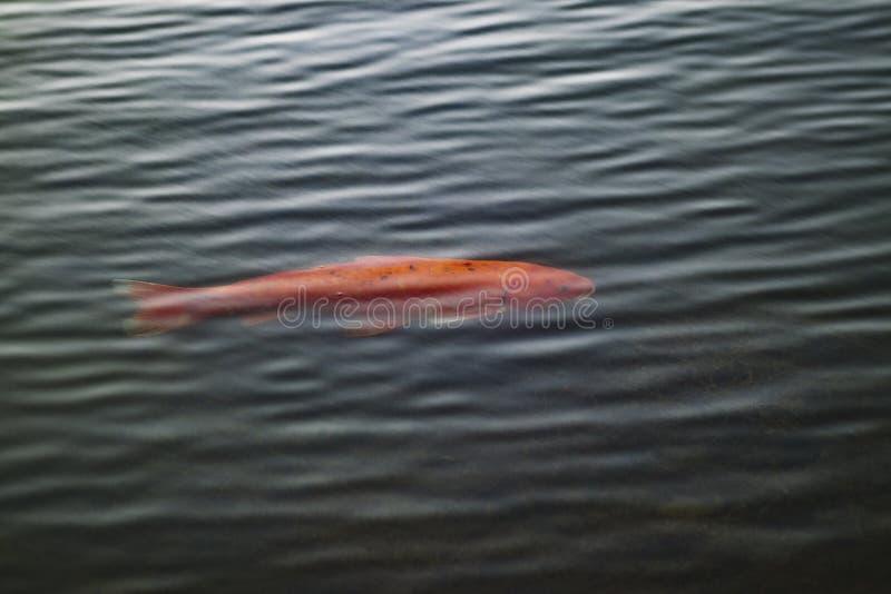Een terughoudende vis in een vijver royalty-vrije stock afbeeldingen