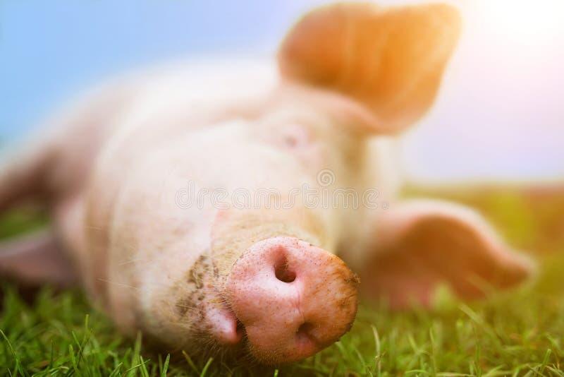 Een tevreden roze varken glimlacht op het gras, snuit en neus volledige kader royalty-vrije stock foto