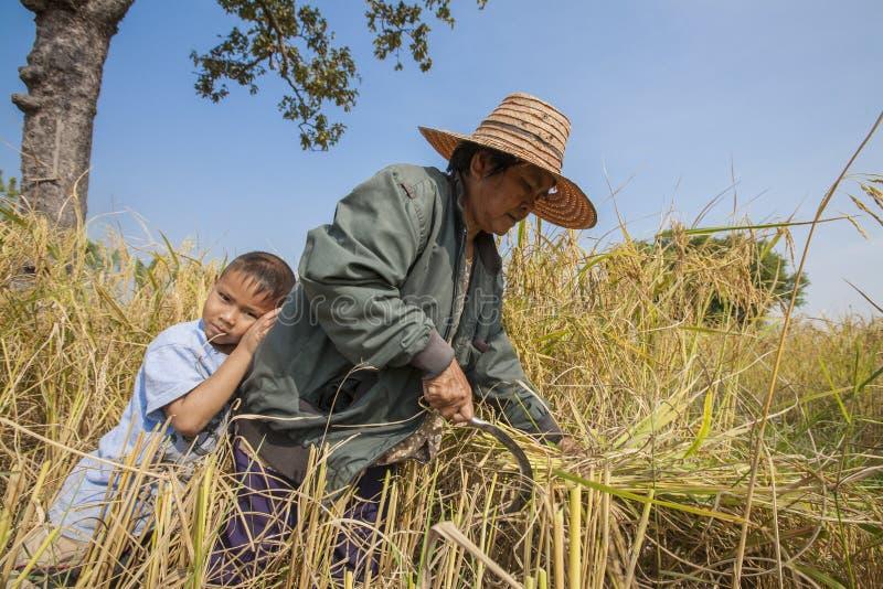 Een Thaise grootmoeder en haar kleinzoon die in een padieveld in noordoostelijk Thailand tijdens de oogstperiode werken stock fotografie