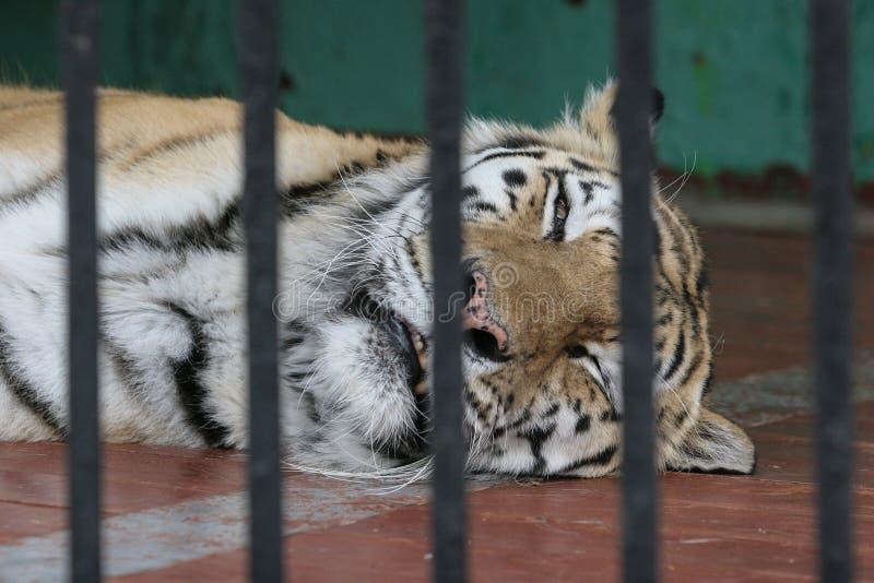 Een tijger in een kooi, droevige ogen stock afbeeldingen