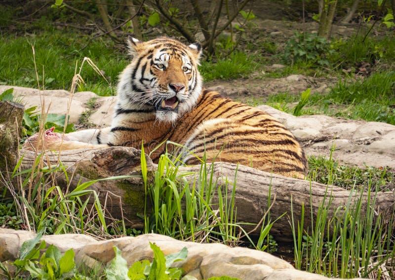 Een tijger tast zijn grondgebied af stock afbeelding