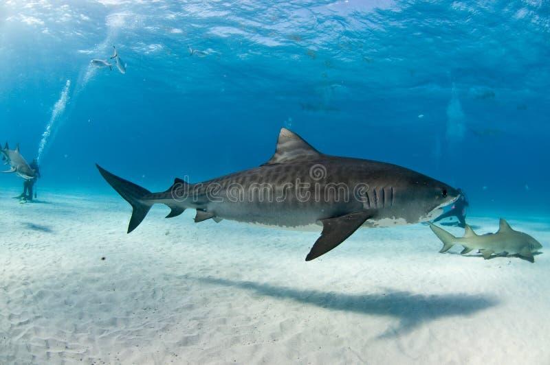 Een tijgerhaai die naast duikers zwemmen stock afbeelding