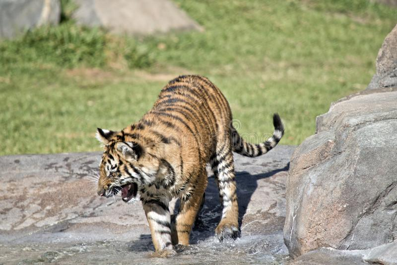 Een tijgerwelp stock fotografie