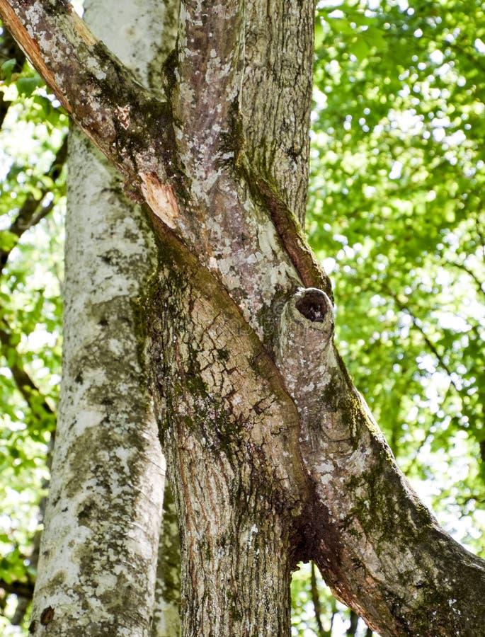Een toevloed op de boomstam van een boom Het samenvoegen van twee bomen Anomalie van installatieontwikkeling royalty-vrije stock foto's