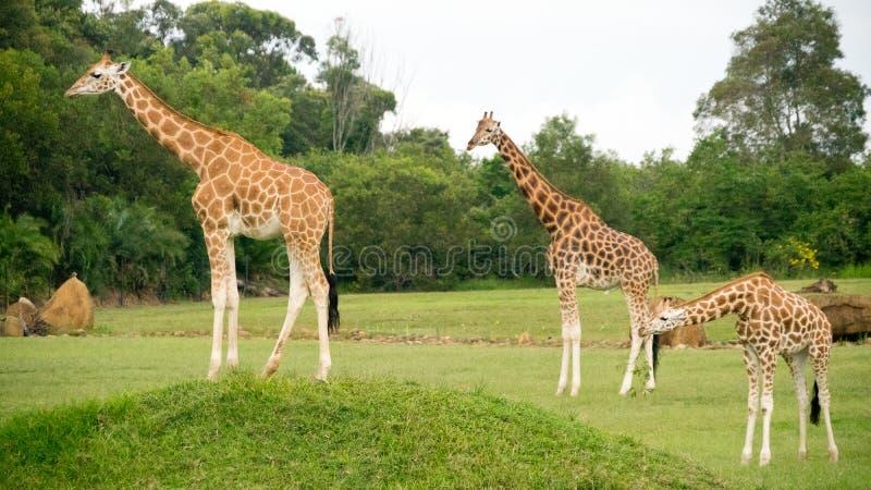Een Toren van Giraffen stock fotografie