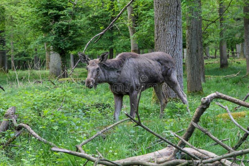 Een tribune van de Amerikaanse elandenkoe vrij in het meest forrest royalty-vrije stock foto