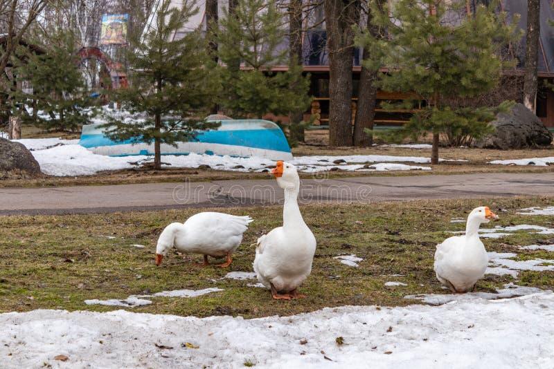 Een troep van binnenlandse witte ganzen op het de lentegazon Landelijk landschap De gang van wit huisganzen Binnenlandse ganzen royalty-vrije stock fotografie