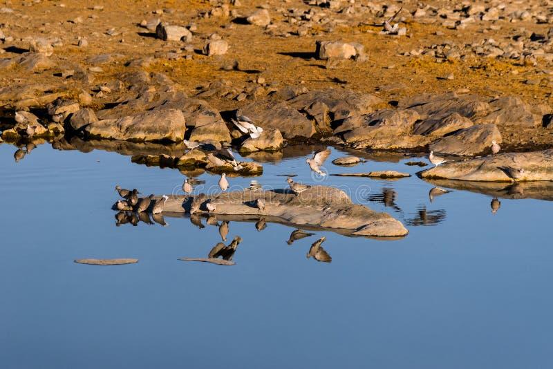 Een troep van de duiven van de kaapschildpad in de ochtend bij waterhole stock foto