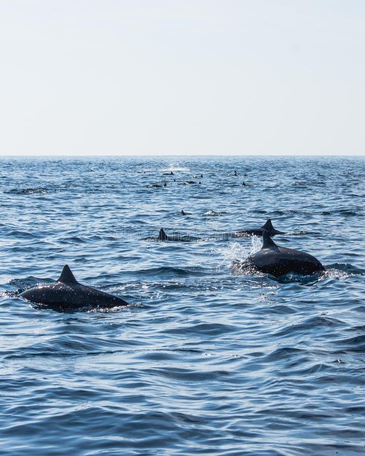 Een troep van dolfijnen die in het overzees zwemmen royalty-vrije stock afbeelding