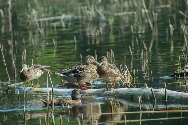 Een troep van eendjes rust op het meer Wilde het leven aard van Rusland royalty-vrije stock fotografie