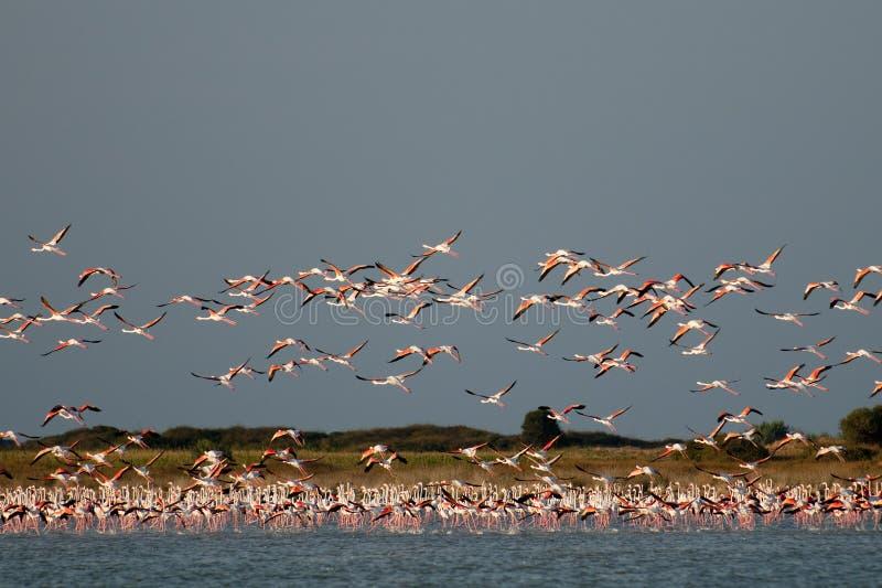Een troep van Flamingo's, tijdens de vlucht. royalty-vrije stock foto