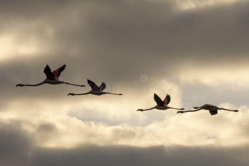 Een troep van flamingo's tijdens de vlucht stock afbeelding