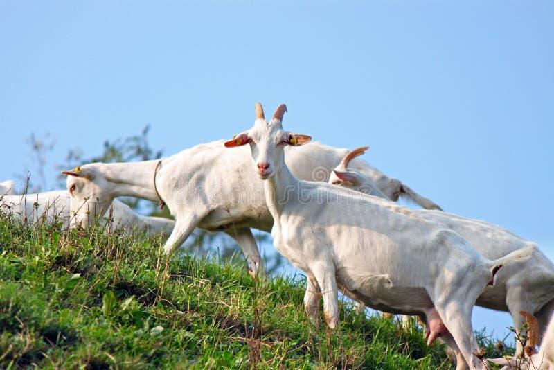 Een troep van geiten stock fotografie