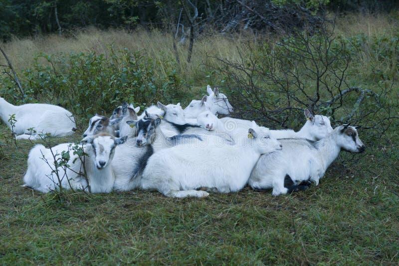 Een troep van geiten die elkaar in Noorwegen nestelen zich stock afbeelding
