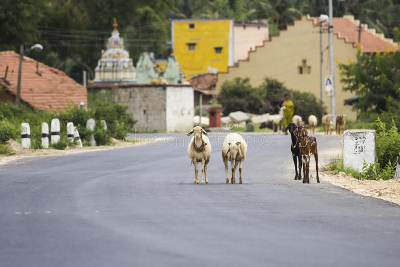 Een troep van geiten en schapen die bezige weg proberen te kruisen stock afbeeldingen
