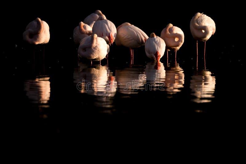 Een troep van grotere flamingo's en zijn gedachtengang stock afbeeldingen