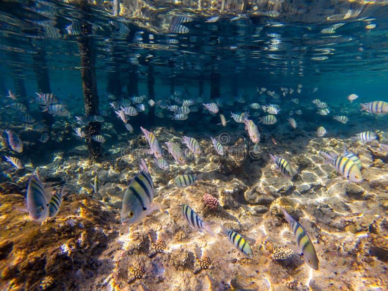 Een troep van koraalvissen, seorgant vissen, Egypte, Makadi-baai royalty-vrije stock foto's