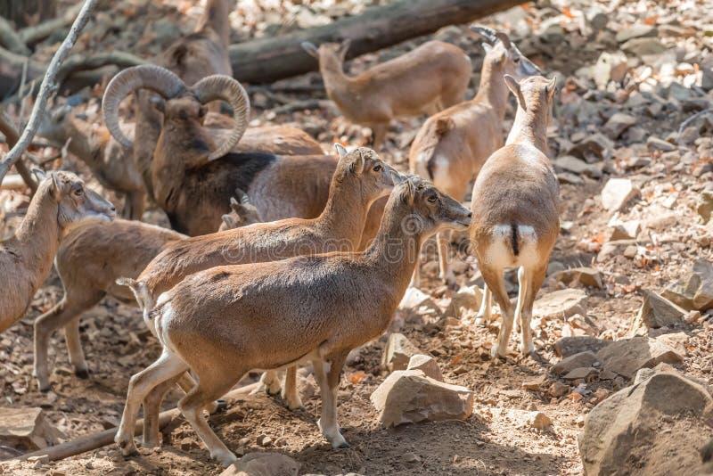 Een troep van mouflons stock foto
