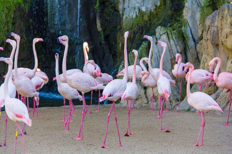 Een troep van roze flamingo's Phoenicopterus in een dierentuin, in Bioparc, Valencia royalty-vrije stock afbeelding