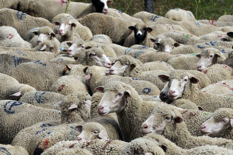 Een troep van schapen royalty-vrije stock foto's
