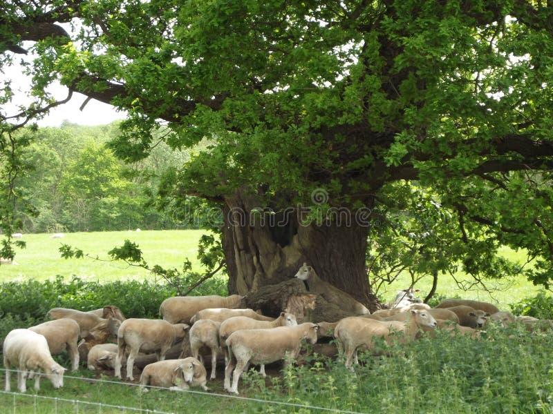 Een troep van schapen royalty-vrije stock afbeeldingen