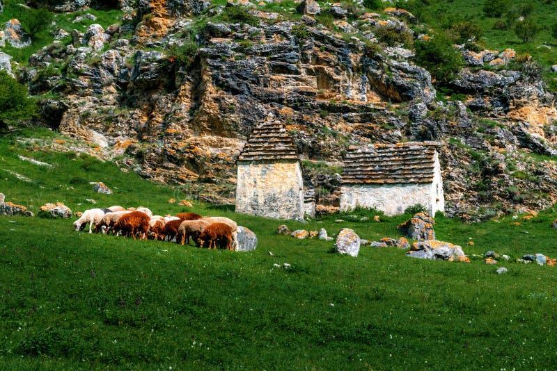 Een troep van schapen die gras in de groene heuvels van de Hoge Kaukasus eten royalty-vrije stock foto
