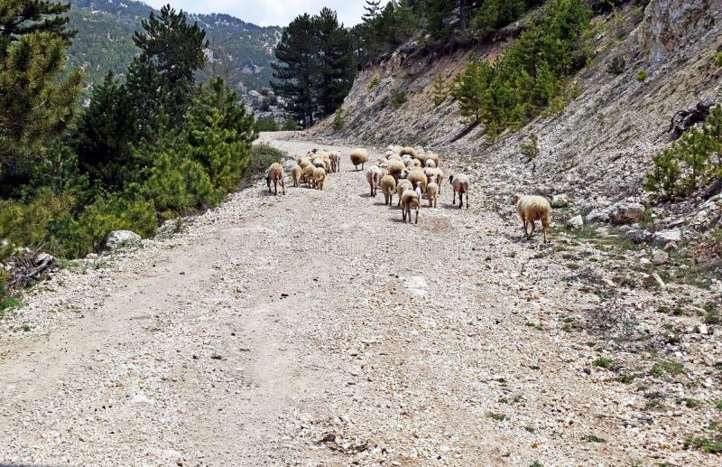 Een troep van schapen die omhoog een vuilspoor in de bergen in Turkije lopen royalty-vrije stock afbeeldingen
