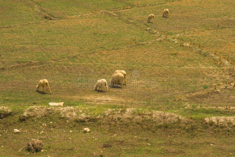 Een troep van schapen die in een weide weiden stock foto's