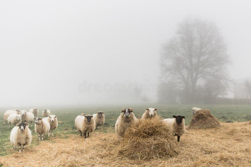 Een troep van schapen in een mistige dag stock foto