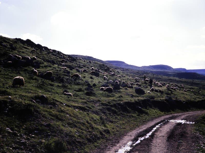 Een troep van schapen in het Dicle-district van Diyarbakir royalty-vrije stock foto