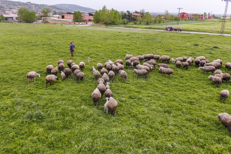 Een troep van schapen het weiden royalty-vrije stock afbeelding