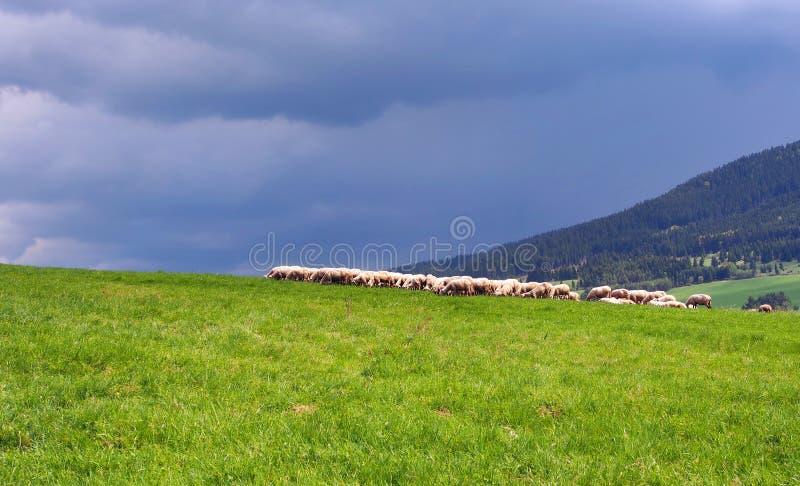 Een troep van schapen op de weide vóór onweer stock afbeelding