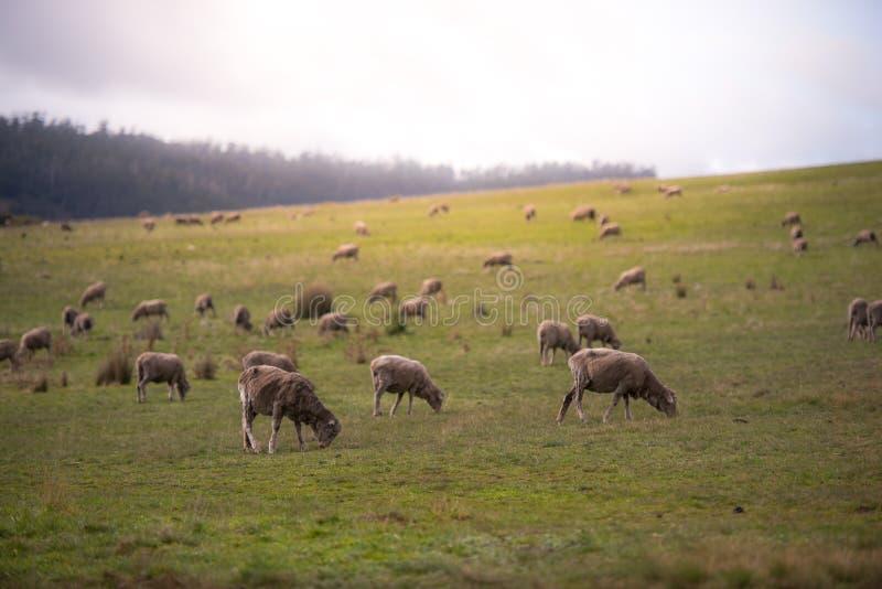 Een troep van schapen op een heuvel stock afbeeldingen