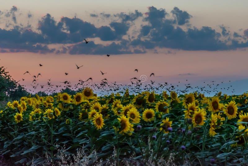 Een troep van vogels die boven een zonnebloemgebied bij zonsondergang vliegen agains stock afbeelding