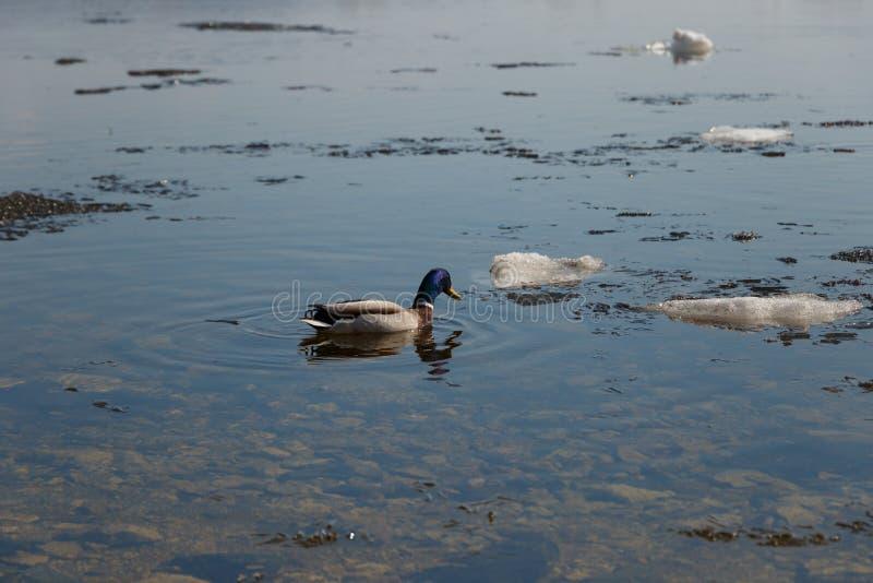 Een troep van wilde eenden die in de rivier na de winter zwemmen De eenden zwemmen in de winterijswater royalty-vrije stock foto