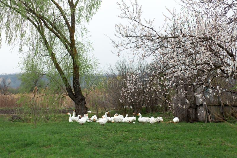 Een troep van witte ganzen loopt in de lente in het dorp op het gazon met vers groen gras tegen de achtergrond van het bloeien royalty-vrije stock afbeeldingen