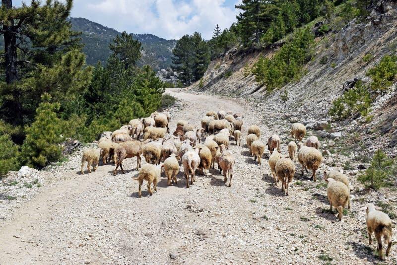 Een troep van witte schapen die lang lopen de weg stock afbeelding