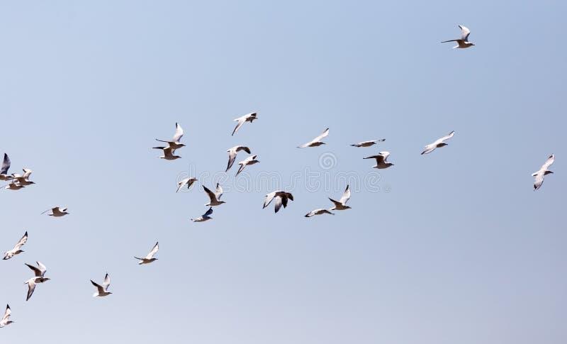 Een troep van Zeemeeuwen tijdens de vlucht stock fotografie