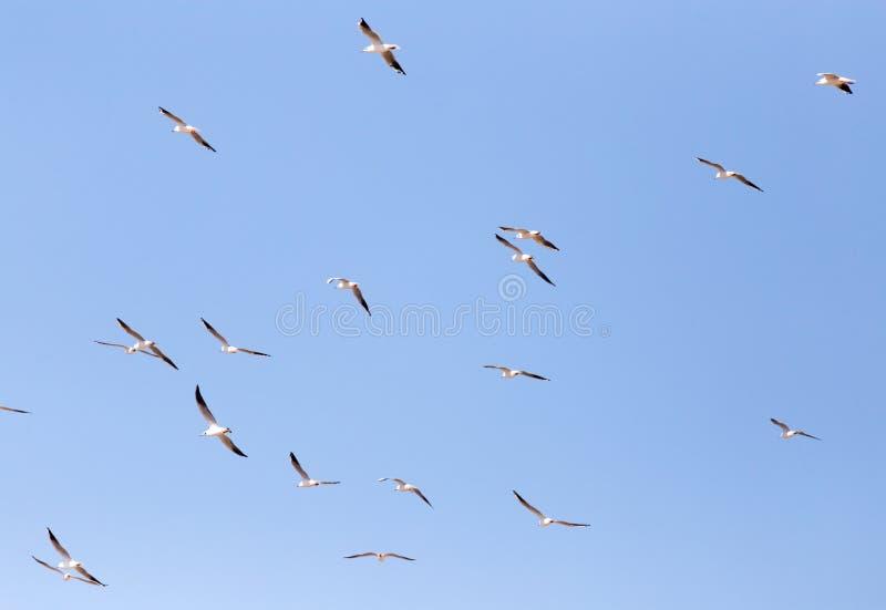 Een troep van Zeemeeuwen tijdens de vlucht stock foto's